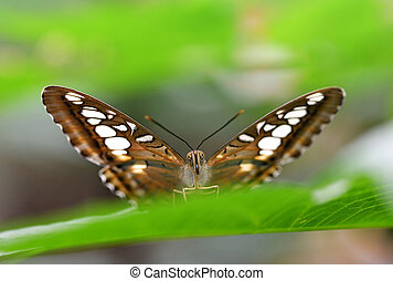 Brown clipper (Parthenos sylvia) sitting on green leaf.