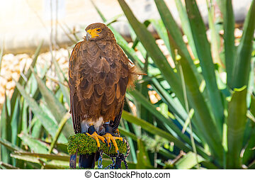Brown color eagle, falcon sitting on a branch.
