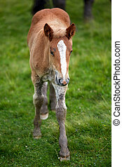 Brown colt on a pasture