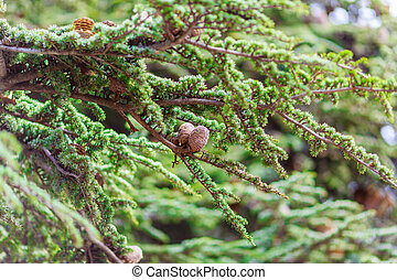 brown cones on branch of conifer tree