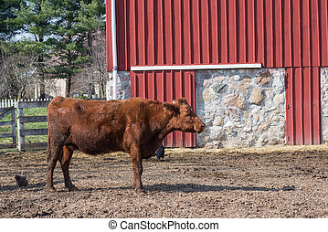 Brown Cow and two chickens in a farm