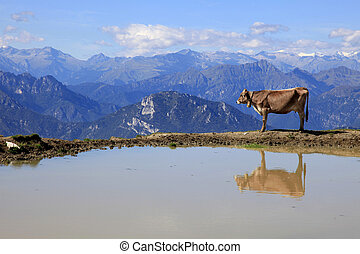 Brown Cow at a Lake looks to the Mountains