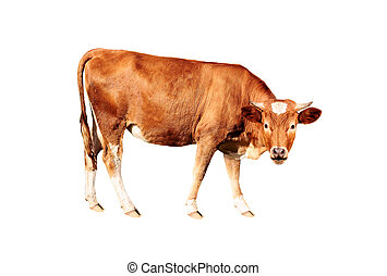 brown cow - brown bull isolated on white background