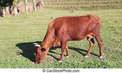 Brown cow feeding on the pasture