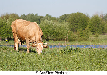 brown cow grazing in a pasture near the pond