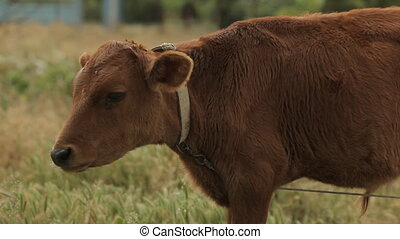 Brown cow grazing in the field