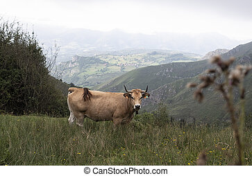 brown cow grazing looking at camera in a mountainous Asturian landscape