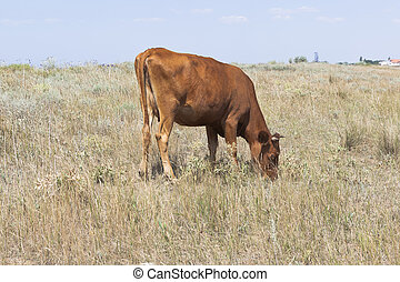 Brown cow grazing on the background of a village in the Crimea
