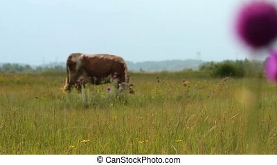 Brown cow grazing on the field