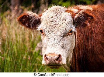 Closeup of a brown cow standing in a pasture.