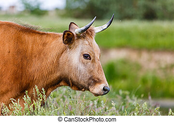 Brown cow in the meadow - Portrait photo of brown cow in the...