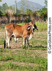 Brown cow on a farmland