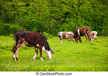 brown cow on a grassy field near the forest. lovely rural...