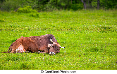 brown cow rests on a grassy meadow. cute animal emotion, act...