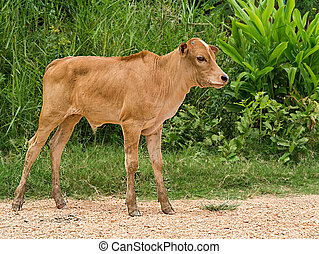 Brown Cow standing on the ground.