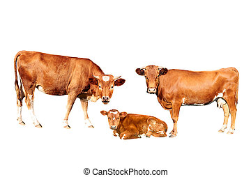 brown cow bull calf  isolated on white background