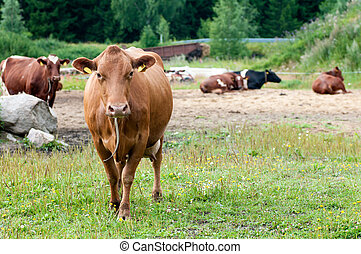 brown cow to the field on the background of the herd