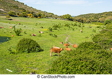 brown cows in a green field