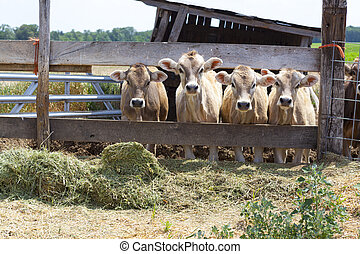 Brown cows with blue sky