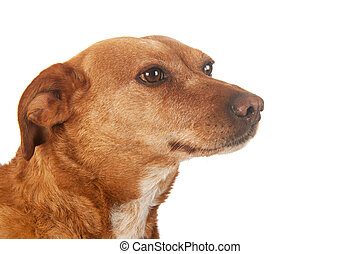 Brown cross breed dog