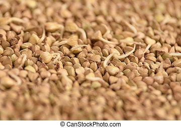 Brown croup. Buckwheat grains. Healthy food. Sprouts.