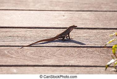 Brown Cuban anole Anolis sagrei perches on a boardwalk in...