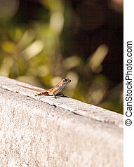 Brown Cuban anole Anolis sagrei perches on a fence in the...