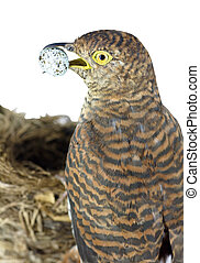 brown cuckoo with quail egg near nest (isolated on white)