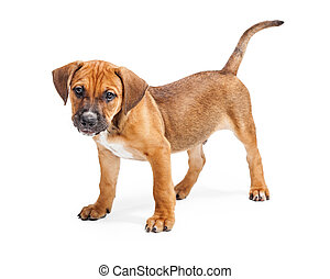Brown Cute Puppy Standing Over White