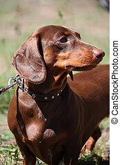 Brown dachshund dog portrait in the park - Brown dachshund...