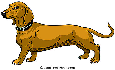 dog smooth-haired dachshund, side view, isolated on white background