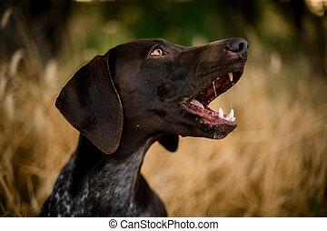 Brown dark color dog barking in the golden field