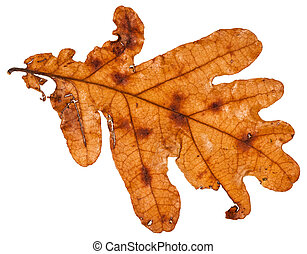brown dead leaf of oak tree isolated