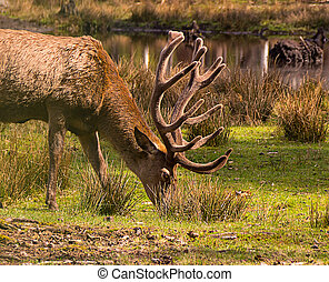 Brown deer with new horns looking for food in high grass at the lake shore on a sunny day