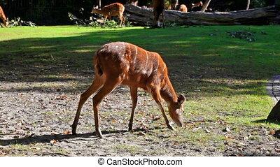 Brown deers feeding on grass in field - Female deers grazing...