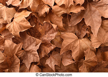 Brown detailed autumnal background with dried platanus ...