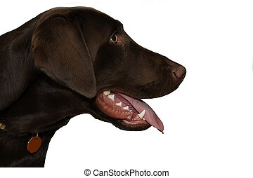 Brown Dog - Head Shot. Separated White Background