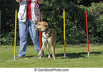 Brown dog in agility sports