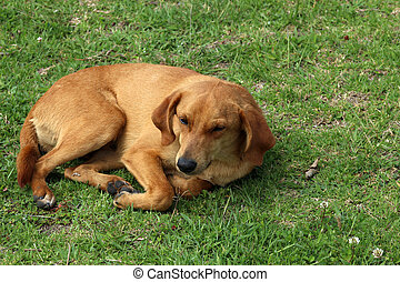 Brown Dog in Grass