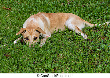 Brown Dog in the grass.