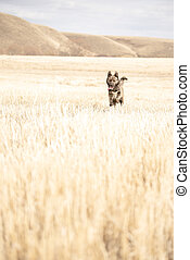 Brown dog running across the field