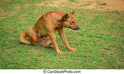 Brown Dog Scratching Fleas on Grass - Video 1080p - Cute,...