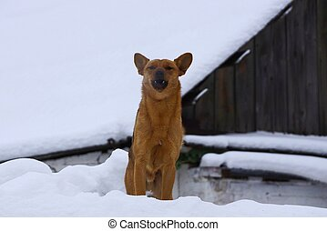 brown dog stands in white snow and barks aggressively