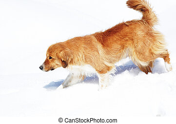 Brown dog walking on snow on bright winter day
