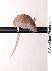 rat on a black crossbar