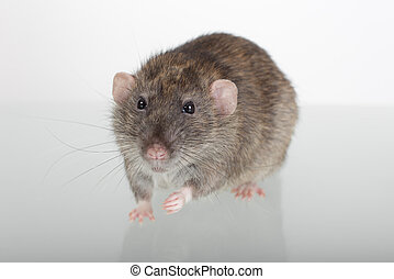 rat on a glass table
