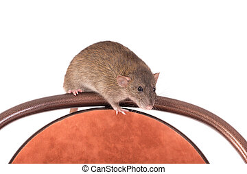 rat sitting on a chair