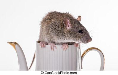 rat sitting on a teapot