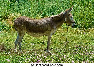 Brown Donkey on Pasture