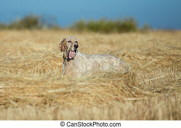 Brown Dotted Setter